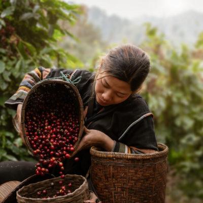 Asian woman farmer harvest arabica cherry coffee in coffee farm at Ban Pang Khon the northern of Chiang Rai, Thailand.